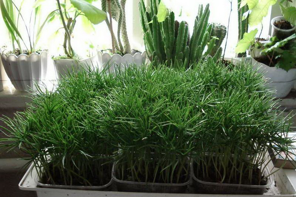 Выращивать кедр в домашних условиях 587